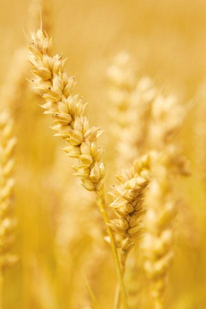 yellow-grain